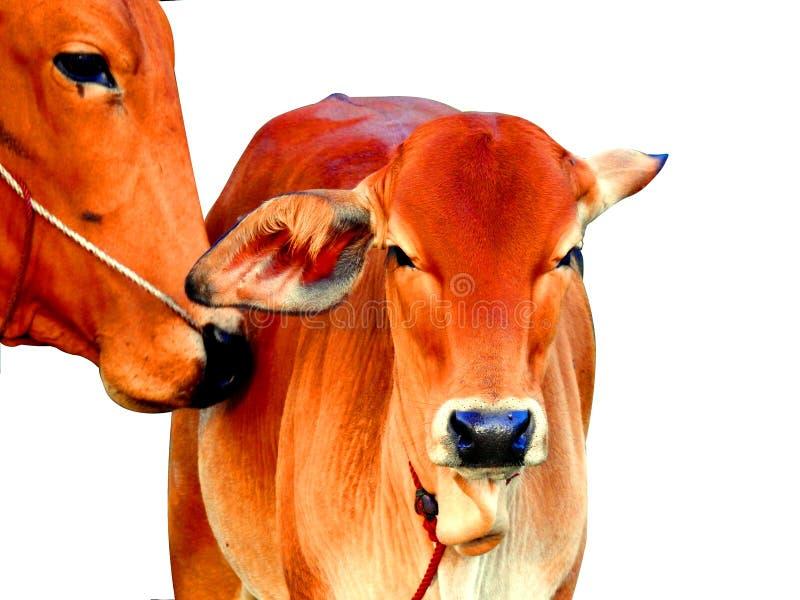 Cow kiss calf love. stock photography