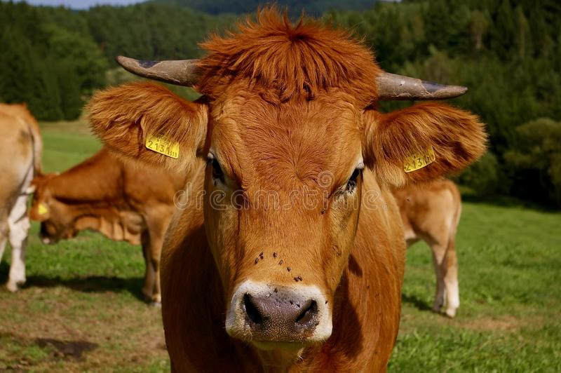 Cow on Pasture Portrait, Lucky Cow, Natural Cow. Organic Cow, Young Cow royalty free stock images