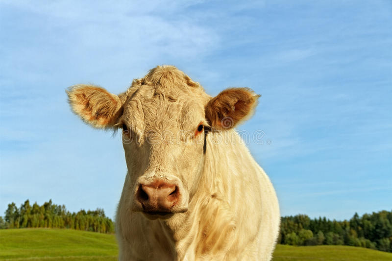 Cow on the land. White cow on the land royalty free stock photo