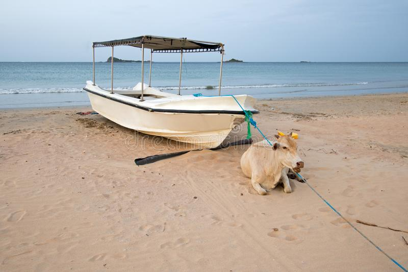 Cow laying on beach in front of anchored boat on Nilaveli beach in Trincomalee Sri Lanka. Asia stock photography