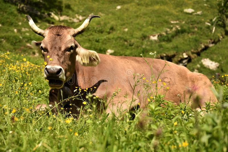 Cow lies on the field in the grass. Cow horned lies with an open mouth on the field in the grass stock photography