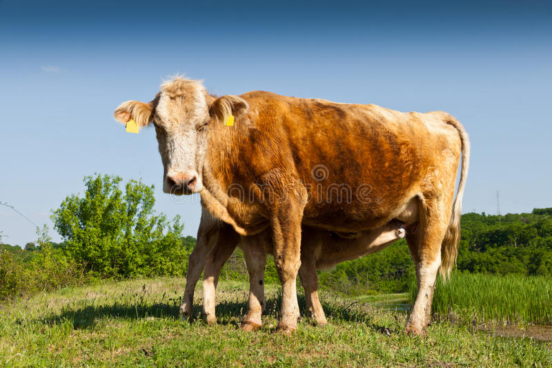 Cow and little calf. On pasture royalty free stock photos