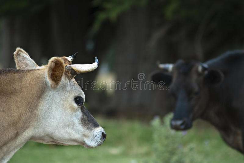 Cow Looking At Cow Royalty Free Stock Photography