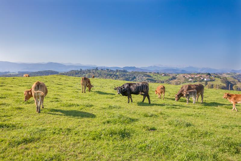 cow looking and herd grazing grass in the mountains of Cantabria royalty free stock images