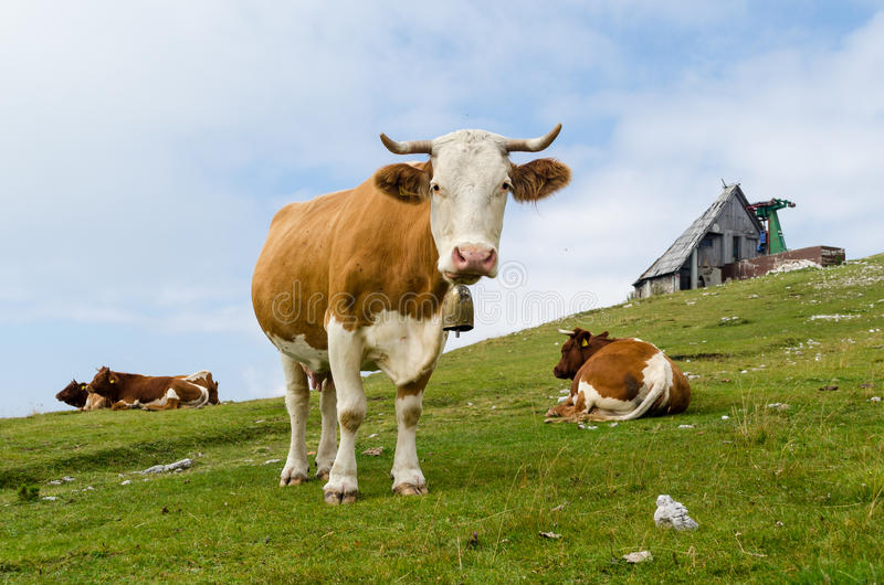 Download Cow looking at you stock image. Image of grazing, farmer - 33466447