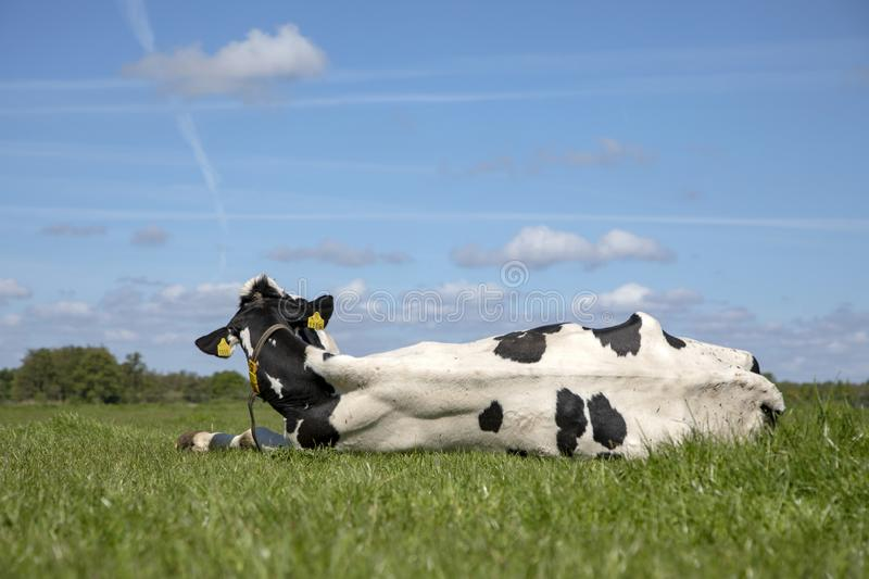 Cow lying in the meadow, seen from behind, head lifted, back stretched under a blue sky with clouds royalty free stock images