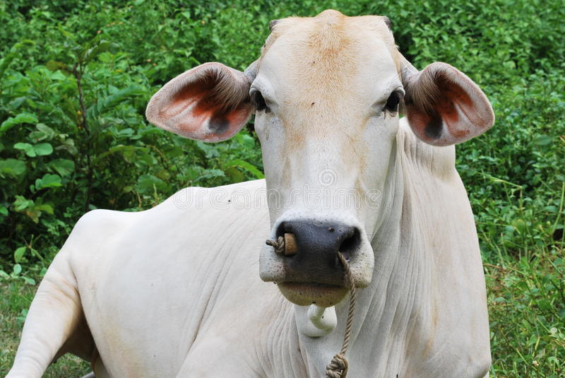 Cow is a lying one royalty free stock photography