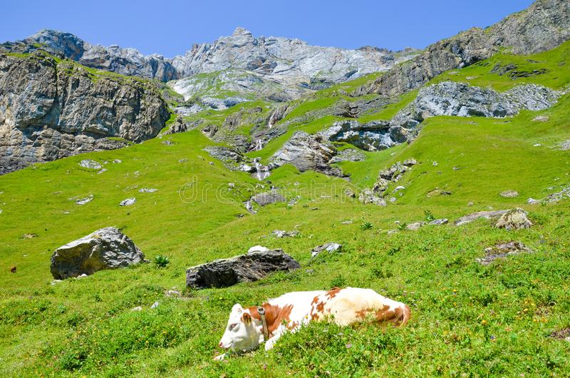 Cow lying on slopes in Alps. Summer Alpine landscape. Cows Alps. Hilly landscape with green pastures, rocks and mountains in. Background. Farm animals, cattle royalty free stock image