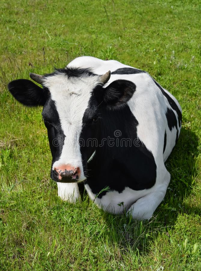Cow lying on a spring farm pasture royalty free stock photo