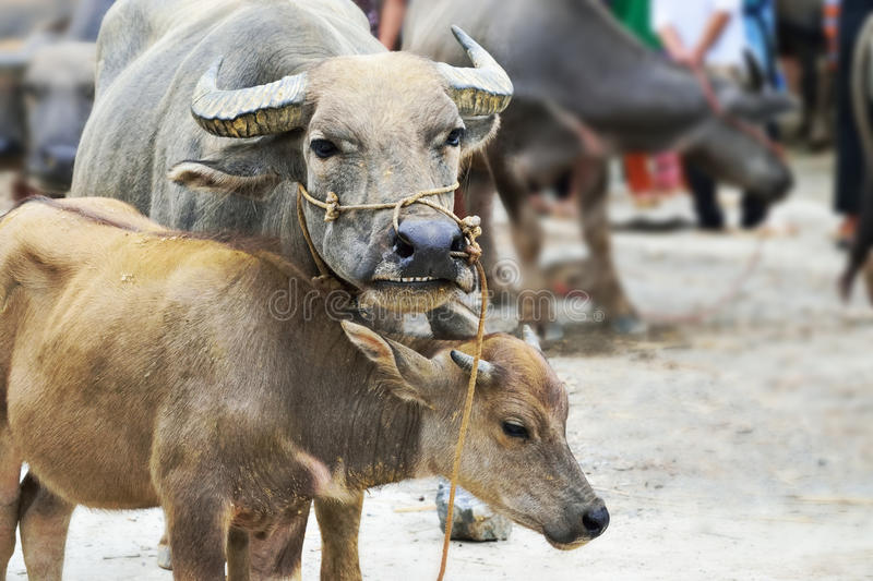 Cow in market of vietnam. Famous Bac Ha market in the vietnam cow stock images