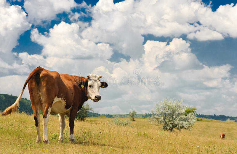 Cow at meadow stock photography