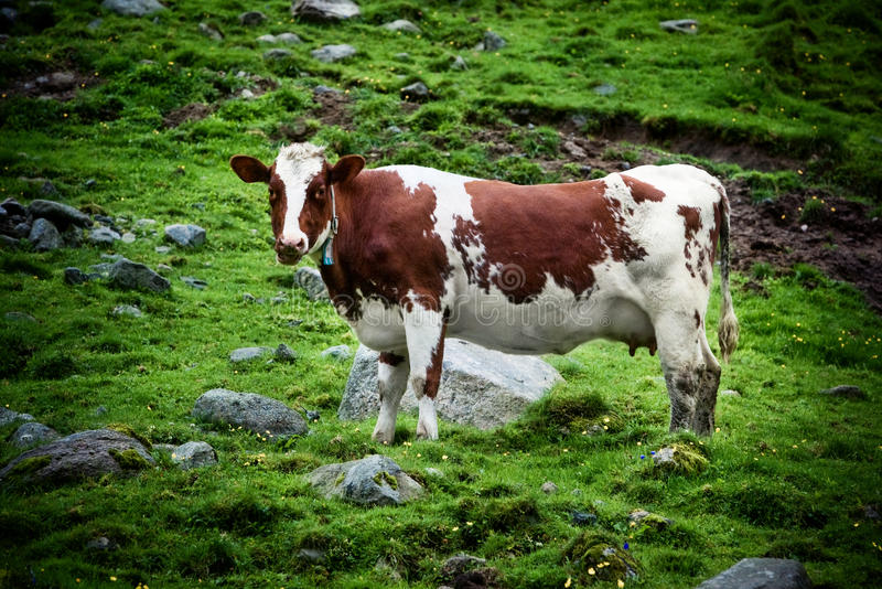 Download Cow on meadow stock image. Image of norway, grass, summer - 26391121