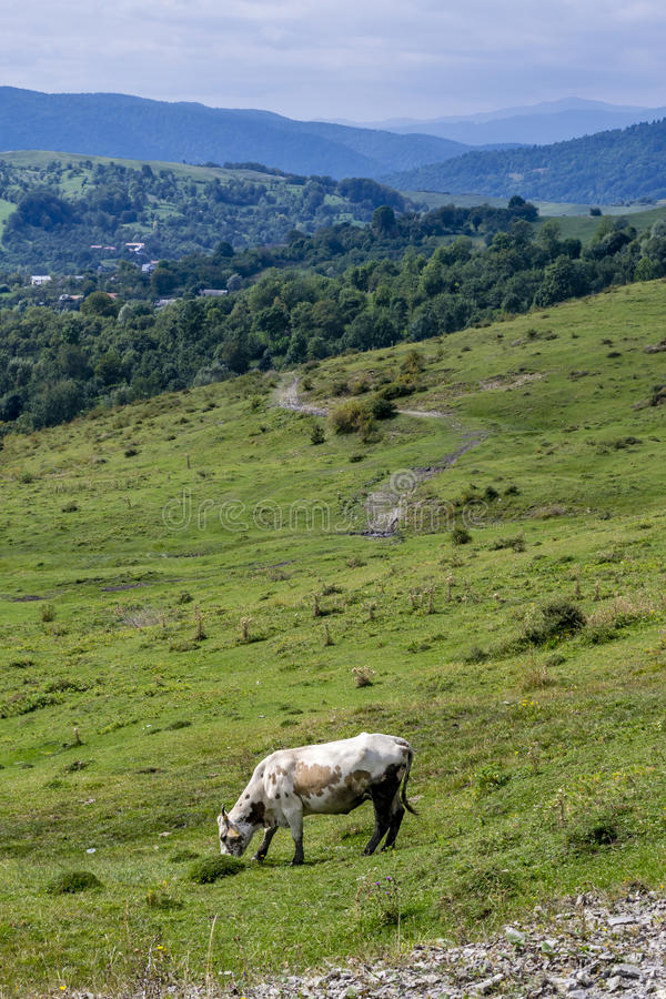 Cow on a meadow with blurred mountains in the background royalty free stock photos