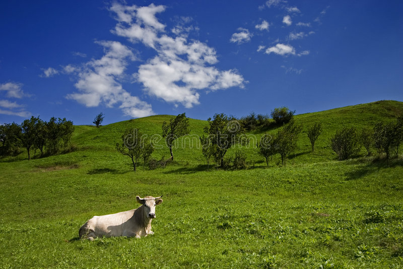 Download Cow and meadow small stock photo. Image of grass, mammal - 238030