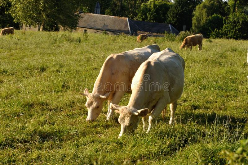 Cow in meadows. In Normandy royalty free stock images