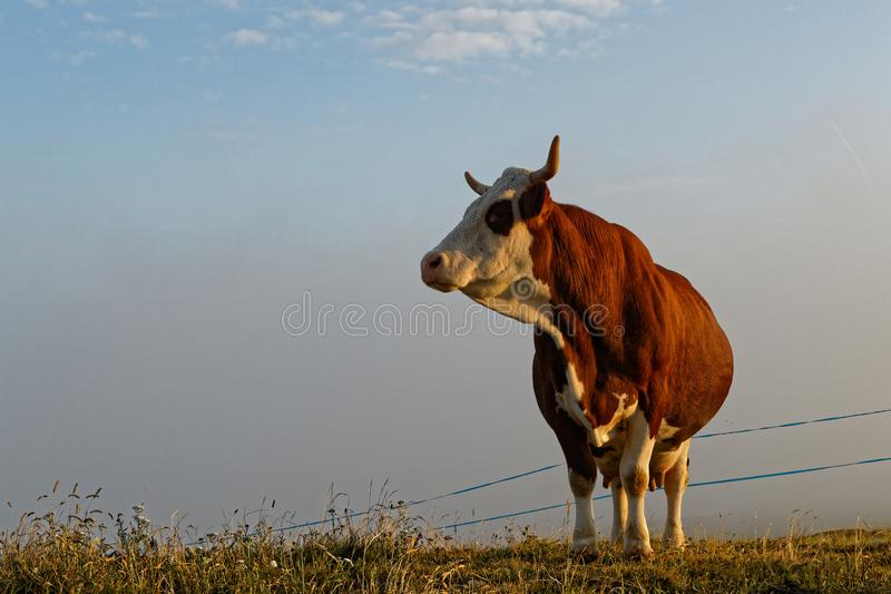 Cow in the meadows at sunrise. Cow in the meadows of French Alps at sunrise stock photos