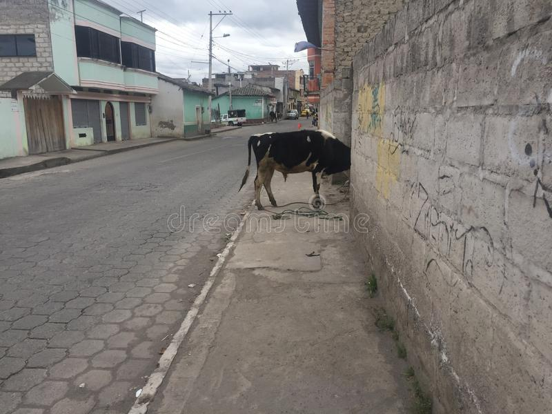 A cow in the middel of a street that has stuck his head in a garden. Between stone walls royalty free stock photography