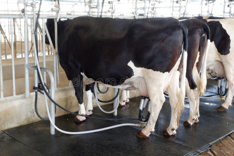 Cow milking facility and mechanized milking equipment stock image