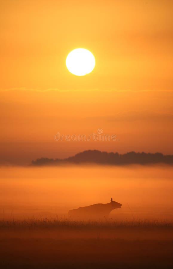 Cow in misty sunrise stock photo