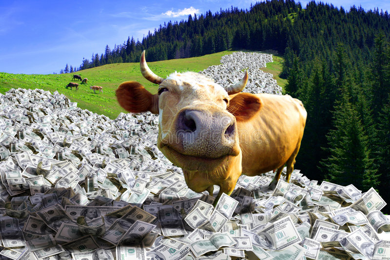 cow is in a money royalty free stock images