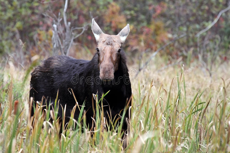 Cow Moose. Closeup of a curious cow moose during the rut in Algonquin Provincial Park, Ontario royalty free stock photography