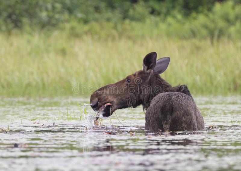 A Cow Moose Alces alces grazing in Algonquin Park, Canada in spring. Cow Moose Alces alces grazing in Algonquin Park, Canada in spring royalty free stock photo