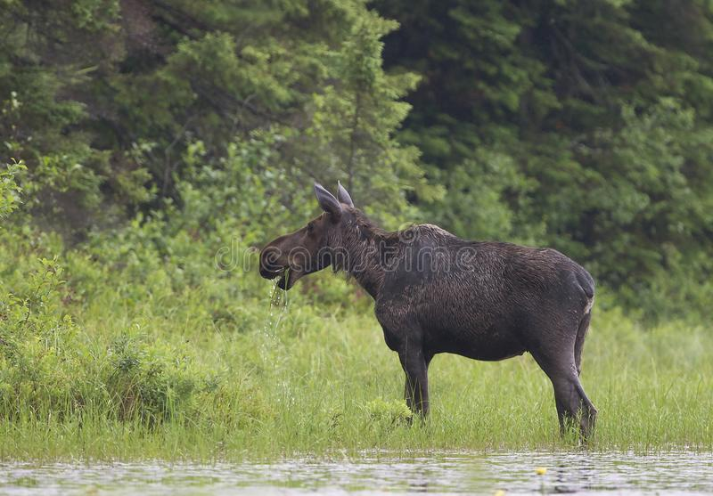A Cow Moose Alces alces grazing in Algonquin Park, Canada in spring. Cow Moose Alces alces grazing in Algonquin Park, Canada in spring royalty free stock photos