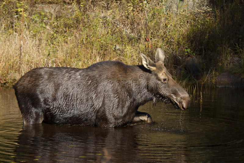 Cow Moose grazing in a pond in Algonquin Park royalty free stock photo