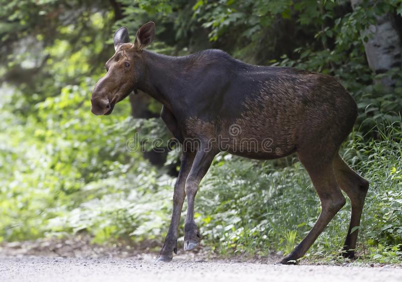 A Cow Moose Alces alces walking along a dirt road in Algonquin Park, Canada in spring. Cow Moose Alces alces walking along a dirt road in Algonquin Park, Canada stock photo