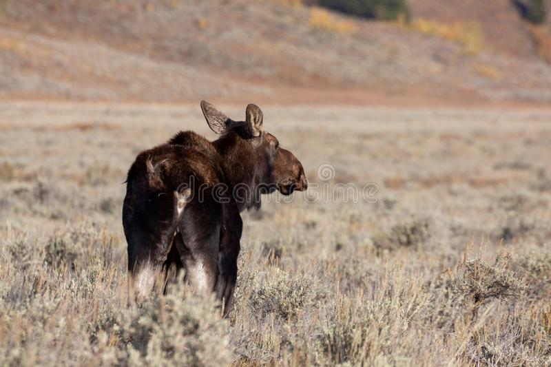 Cow Moose in Autumn in Wyoming. A cow Shiras moose in autumn in Wyoming royalty free stock photo