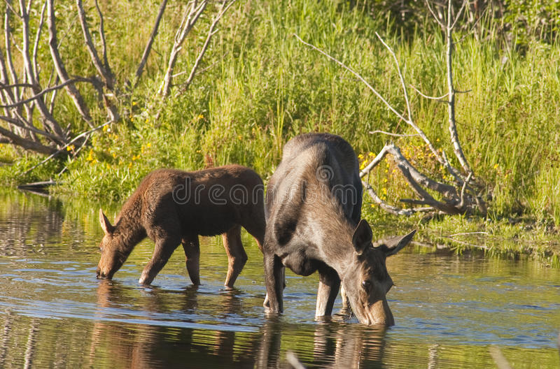 Cow Moose and calf feeding. In a stream in Wyoming royalty free stock image