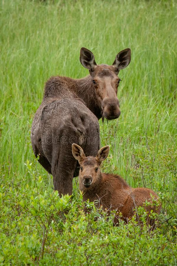 Cow moose and calf in a meadow. A mother moose and her calf pause to look back at the camera while travelling across a meadow near McCarthy, Alaska stock photography