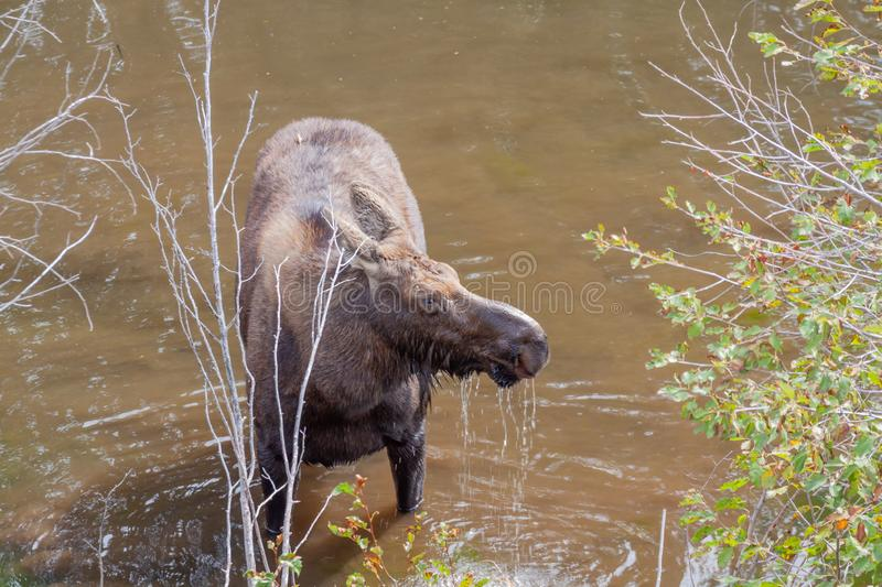 Cow Moose Drinking in Autumn in Wyoming. A cow Shiras moose drinking in autumn in Wyoming stock photos
