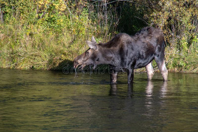 Cow Moose Drinking in River. A cow moose lifts her head while drinking from a river in which she is standing. Water runs from her mouth stock image