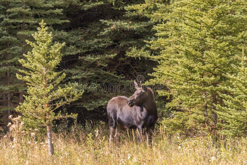 Cow Moose in Fall. A cow shiras moose in fall in Wyoming stock photo