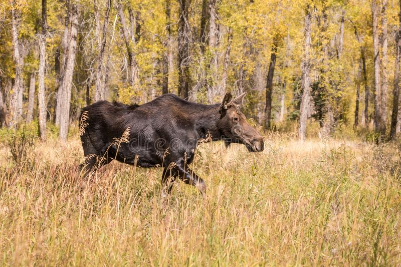 Cow Moose in Fall. A cow shiras moose in fall in wyoming stock photography