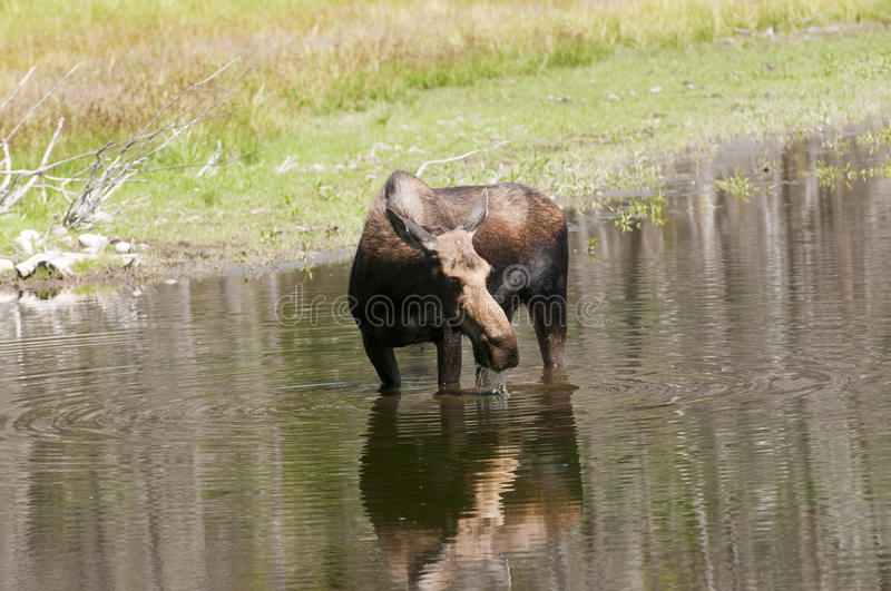 Cow Moose feeding. Solitary cow moose feeding in a pond in the Teton National Park stock photos