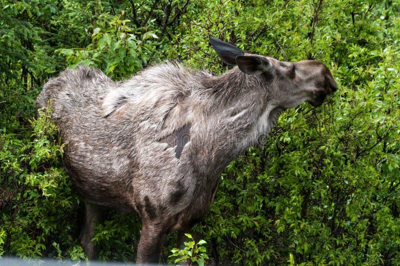 Cow Moose. Feeding i8n Denali National Park stock image