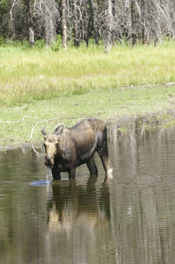 Cow Moose feeding in pond