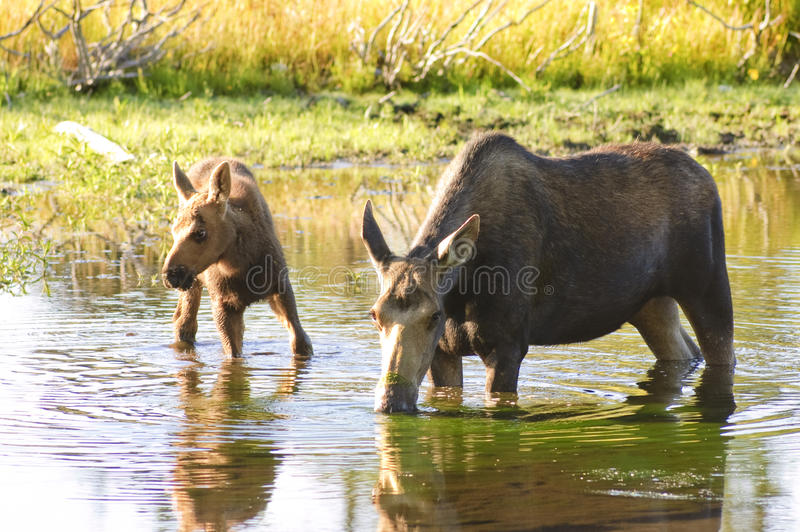 Cow moose feeding in a pond. Cow moose with a calf feeding in a pond in Wyoming at sunrise stock photos