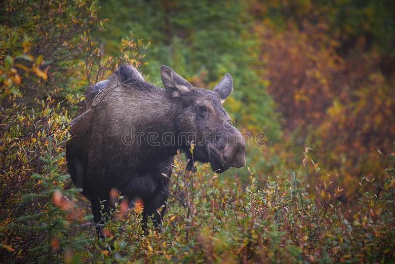 Cow Moose. A cow moose feeds in the willows in Kananaskis Country, Alberta stock photos