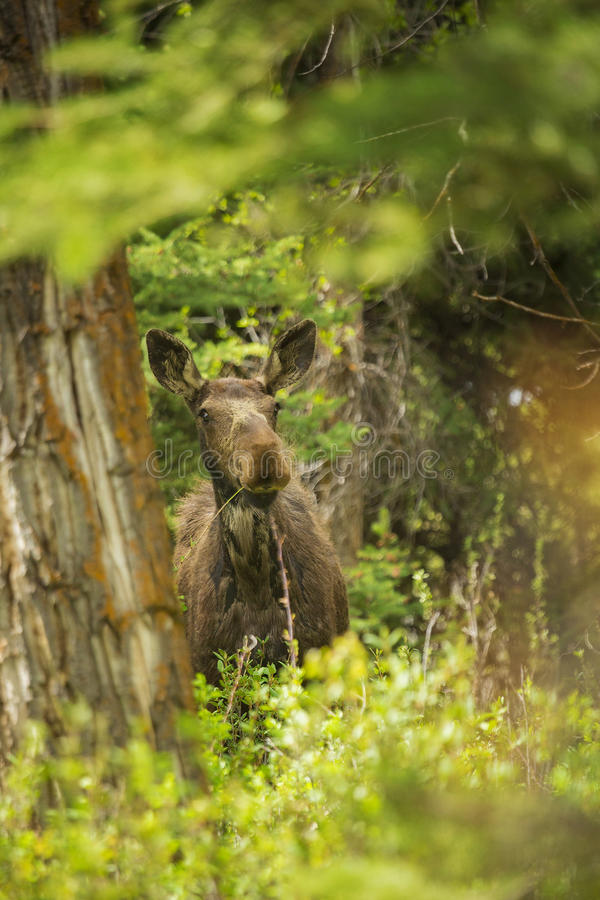 Cow Moose. A female cow moose eats in Grand Teton National Park, Wyoming royalty free stock photo