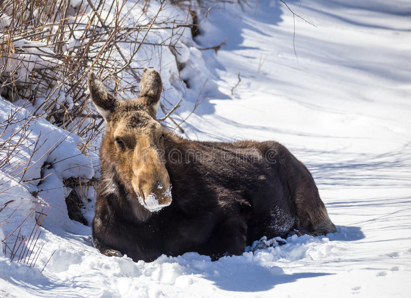 Cow Moose. A cow moose lays in the snow royalty free stock photo