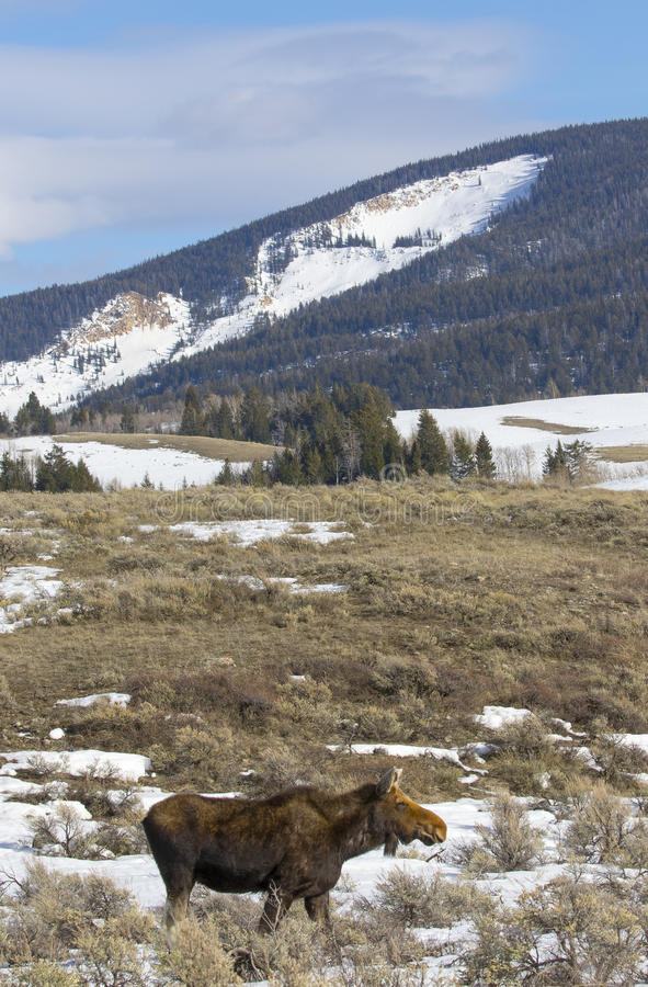 Cow moose in meadow. With Gros Ventre landslide scar in background stock image