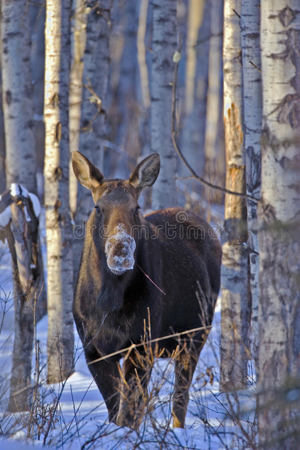 Cow Moose. Standing in Aspen forest, feeding royalty free stock image