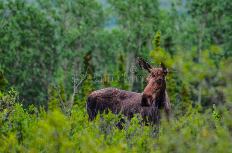 A cow moose standing in the grass in Denali National Park and Preserve, Alaska, United States.  royalty free stock photo