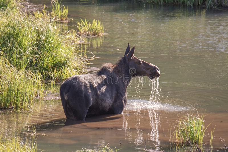 Cow moose feeding in the water. Cow moose standing in a marshy lake feeding with water splashing from it`s nose stock image