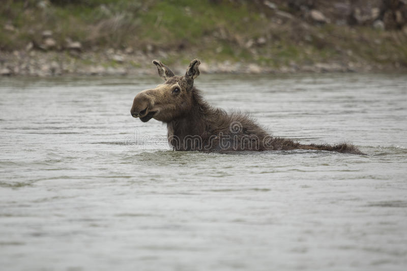 Cow Moose Swimming. A cow moose swims across the Snake River in Grand Teton National Park, Wyoming royalty free stock photo
