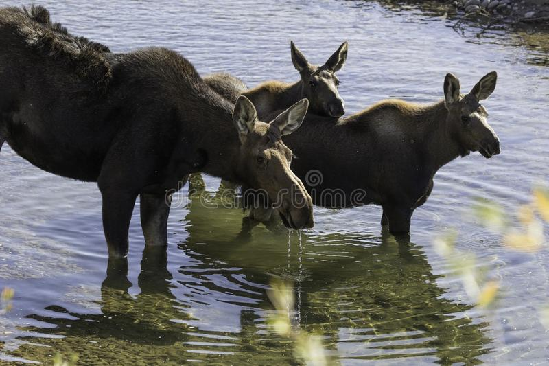 Cow moose and twins in river. A cow moose and her twin calves in the gros ventre river near jackson wyoming in the fall stock photo
