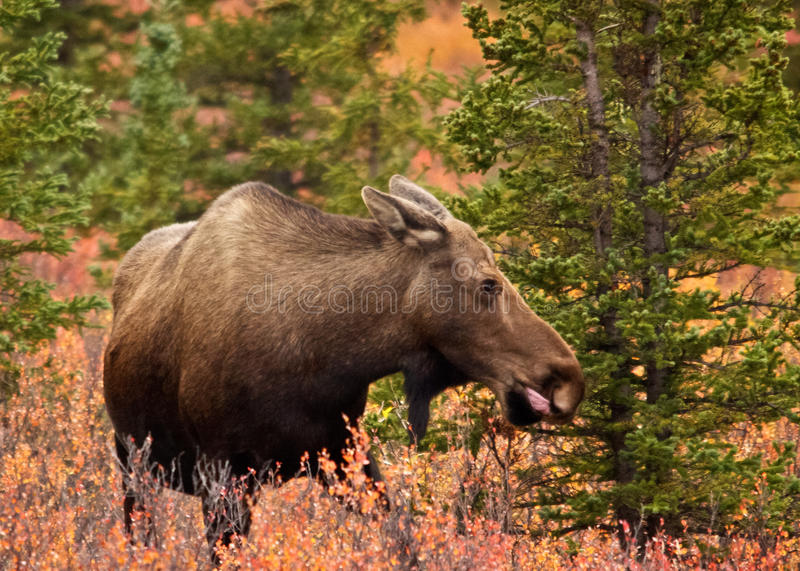 Cow Moose in Woods. A cow moose wanders the woods of Alaska's Denali National Park in autumn royalty free stock photos